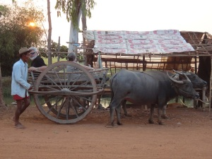 Day 15 Water buffalo cart